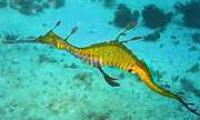 200px_phyllopteryx_taeniolatus1.jpg