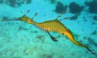 800px_phyllopteryx_taeniolatus1.jpg